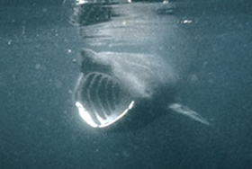 an overview of the basking shark See contact information and details about irish basking shark project.